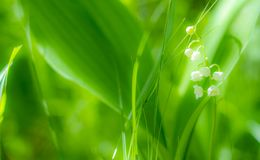 Spring Lily of the valley flower close-up against the background of Unsharp foliage in the sunlight.  stock photo