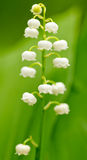 Spring lily of the valley flower in the natural background Stock Image