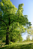 Spring lime trees Royalty Free Stock Photo