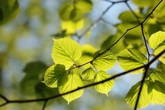 Free Spring Linden Leaves In The Forest Close Up Of Leaf Backlit By Morning Sun April Royalty Free Stock Photography - 146073637
