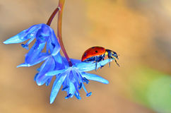 Spring  and little ladybug Royalty Free Stock Images