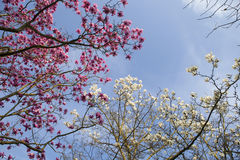 Spring in London. Magnolia `Leonard Messel`, Pink flower and bud opening on tree. Spring in London. Magnolia `Leonard Messel`, Pink flower and bud opening on a royalty free stock photo