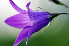 Spring lonely bell flower Campanula Stock Images