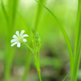 Spring. Lonely flower. Green grass and white flower, selective focus Royalty Free Stock Photography