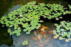 Spring lotus flowers and kois. Verdant spring lotus leaves and bloomy pond  liliesmcolorful brocaded carps swim in the blue water Royalty Free Stock Image