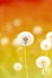 Spring macro one dandelion Royalty Free Stock Photo