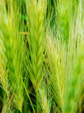 Spring macro photography of green grain Royalty Free Stock Images