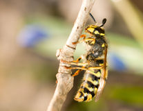 Spring Macro - wasp on thin branch Royalty Free Stock Photography