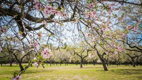 Spring in Madrid at Quinta de Molinos Almonds Park royalty free stock photo