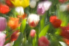 Spring magic. Multiple exposure of tulip garden in full bloom stock photography