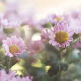 Spring magic pink flowers close up on a square blurred background stock images