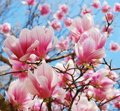 Spring magnolia Royalty Free Stock Image
