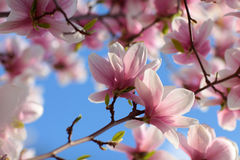 Spring magnolia background Stock Images