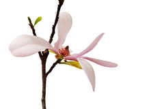 Spring Magnolia Blossom Stock Photos