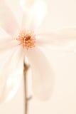 Spring Magnolia Blossom Stock Photography