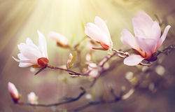 Spring magnolia blossom background royalty free stock images