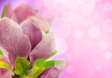 Spring magnolia blossoms Royalty Free Stock Photography