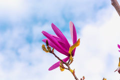 Spring magnolia flower Stock Photo