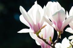 Spring Magnolia flowers Royalty Free Stock Photos
