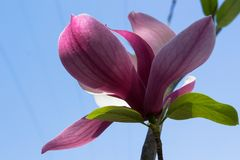 Spring magnolia flowers stock image