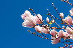 Spring Magnolia Flowers and Blue Sky Stock Image