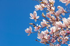 Spring Magnolia Flowers and Blue Sky Royalty Free Stock Images