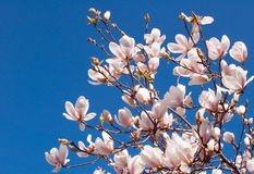 Spring Magnolia Flowers and Blue Sky Stock Photos