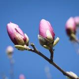 Spring. Magnolia flowers Royalty Free Stock Photo