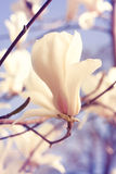Spring. Magnolia flowers Royalty Free Stock Photos