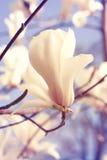 Spring. Magnolia flowers Royalty Free Stock Photos
