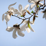 Spring. Magnolia flowers Stock Image