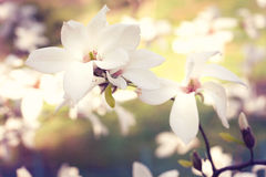Spring. Magnolia flowers royalty free stock image