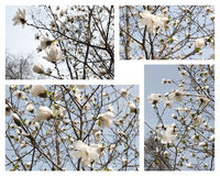 Spring magnolia flowers Stock Photography