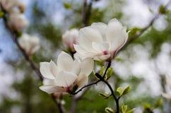 Spring magnolia in the Kiev botanical garden. Spring 2014 Stock Image