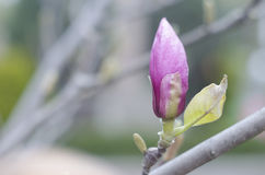 Spring magnolia pink buds on a branch of a tree. Blossom magnolia flower in nature. Beautiful spring bloom Stock Photography