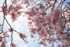 Spring with Magnolia tree in bloom Stock Photos