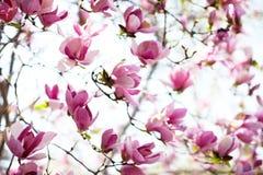 Spring magnolia tree in bloom Stock Image