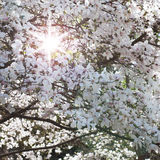 Spring. Magnolia tree in bloom on sunny day Stock Photography