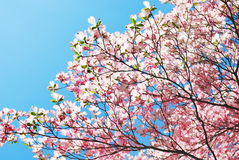 Spring magnolia tree flowers Stock Photo