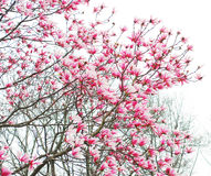 Spring magnolia tree flowers Royalty Free Stock Photography