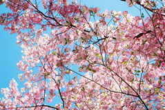 Spring magnolia tree flowers Royalty Free Stock Image