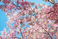 Spring magnolia tree flowers Royalty Free Stock Image