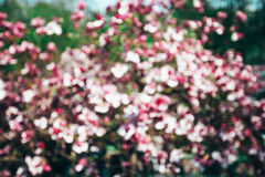 Spring magnolia tree flowers bokeh Stock Photography