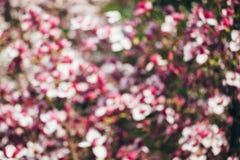 Spring magnolia tree flowers bokeh Stock Image