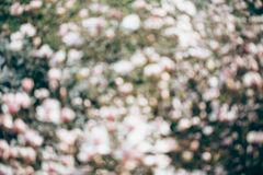 Spring magnolia tree flowers bokeh Stock Images