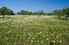 Spring on Mallorca. Meadow full of flowers and some trees Stock Images