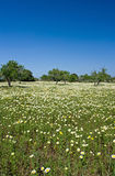 Spring on Mallorca. Meadow full of flowers and some trees Royalty Free Stock Photo