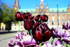 Spring in Malmo. Blooming flowers in front of Malmo city hall Stock Images