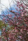 Malus spectabilis blooming. In spring the Malus spactabilis are blooming. the flowers are pink dense.the tree branch is curved and thin. in the park many people Stock Photos