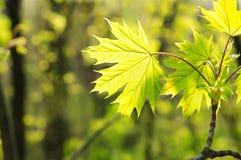 Spring maple Stock Image